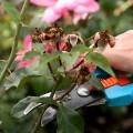 як обрізати троянду