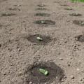 як садити кабачки