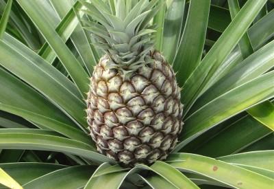 як виростити ананас