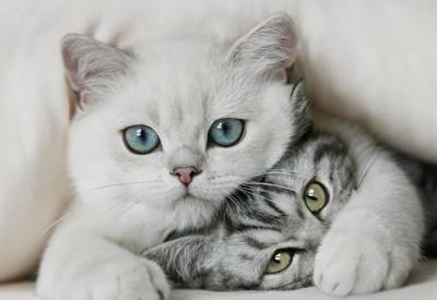 скільки кішка виношує котят
