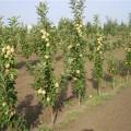 колоновидні яблуні