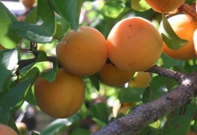 обрізання абрикоса
