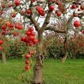 як посадити яблуню