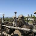 страуси