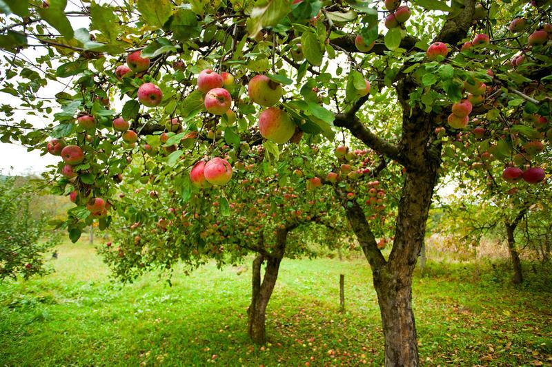 як вирощувати яблуню