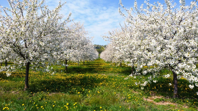 фото молодого квітучого саду
