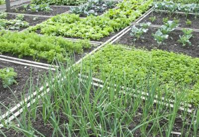 Які овочі можна сіяти поруч