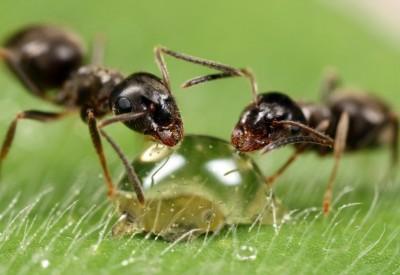 Як боротися з мурахами