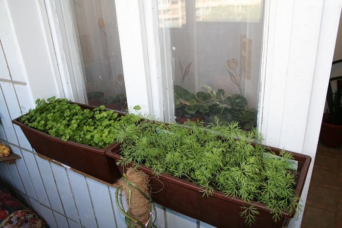 зелень в домашніх умовах