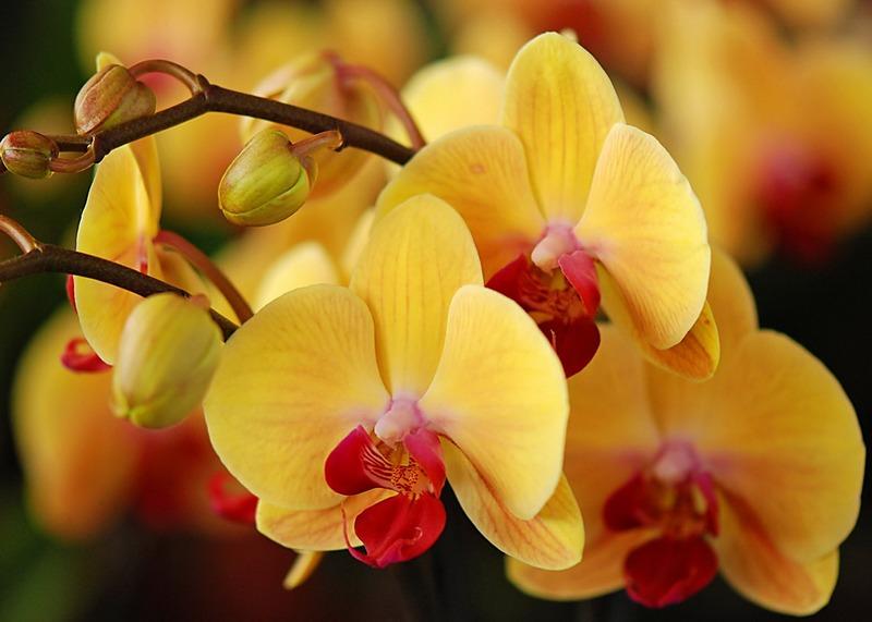 орхідея 1
